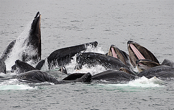Whales Bubble-Net Feeding Again