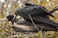 Frigate Birds Mating