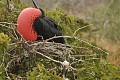 Male Frigate Bird Attracting a Mate