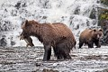 Young Grizzlies Catching Salmon